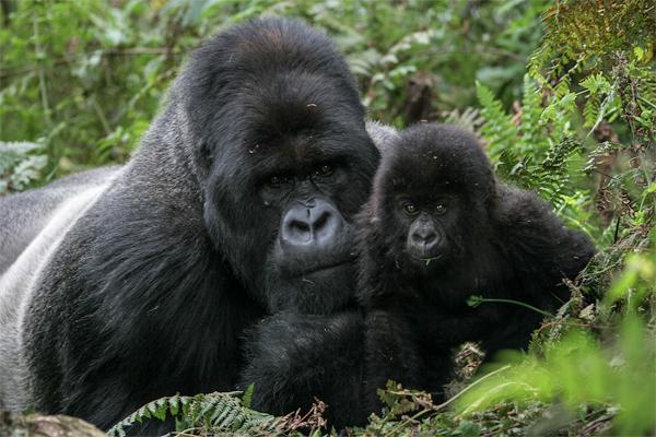 Gorilla photo by Chris Whittier